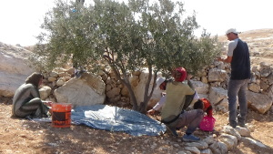Palestinin family picking olives in Humra valley, At Tuwani village.