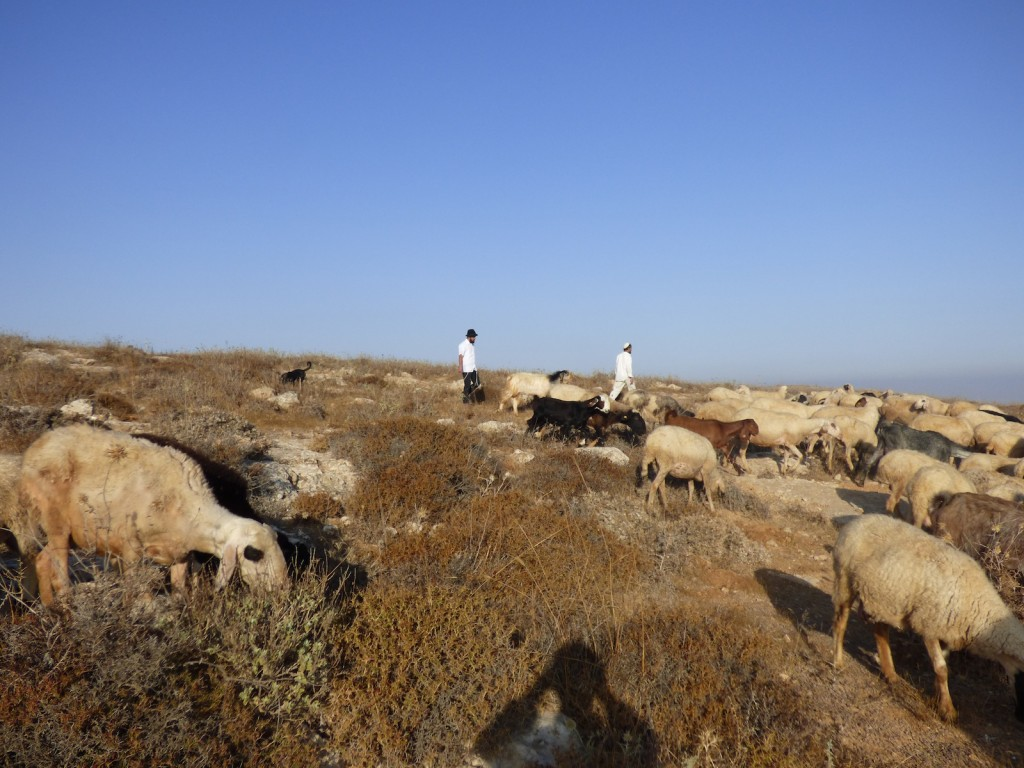 Israeli settlers chase away a Palestinian flock from the Palestinan owned land of Umm Al Arayes.